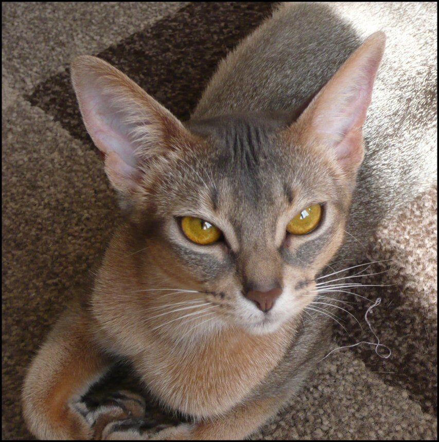 abyssinian cat - blue
